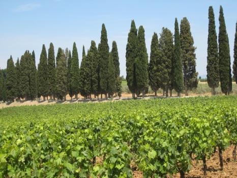 Vines backed by cypress trees.
