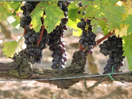 Wine grapes in Montepulciano, Tuscany, September 2015, not long before harvesting.