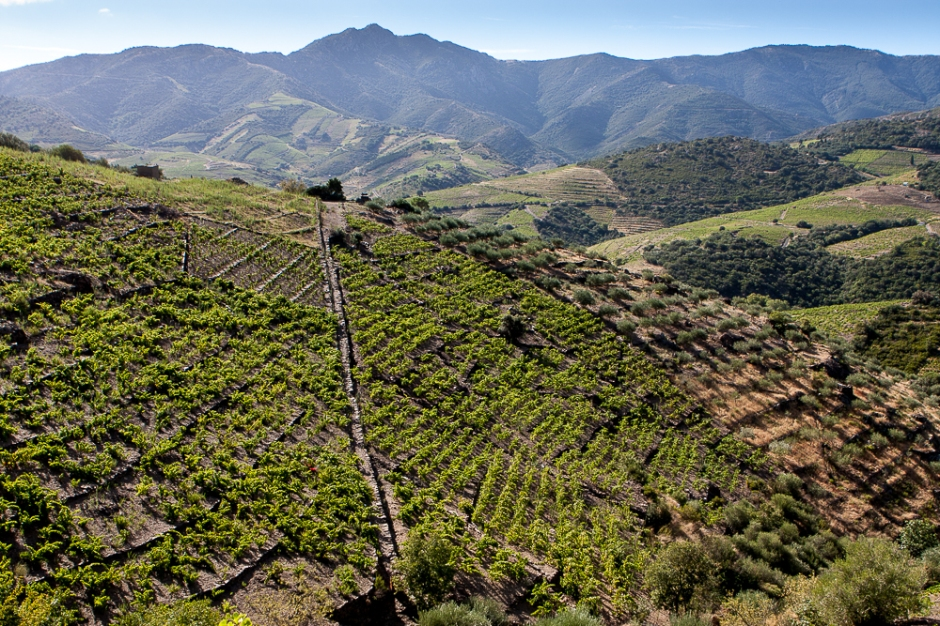 Terraced vines in the hills behind Banyuls, looking towards the foothills of the Pyrenees. Credit: Richard W H Bray.