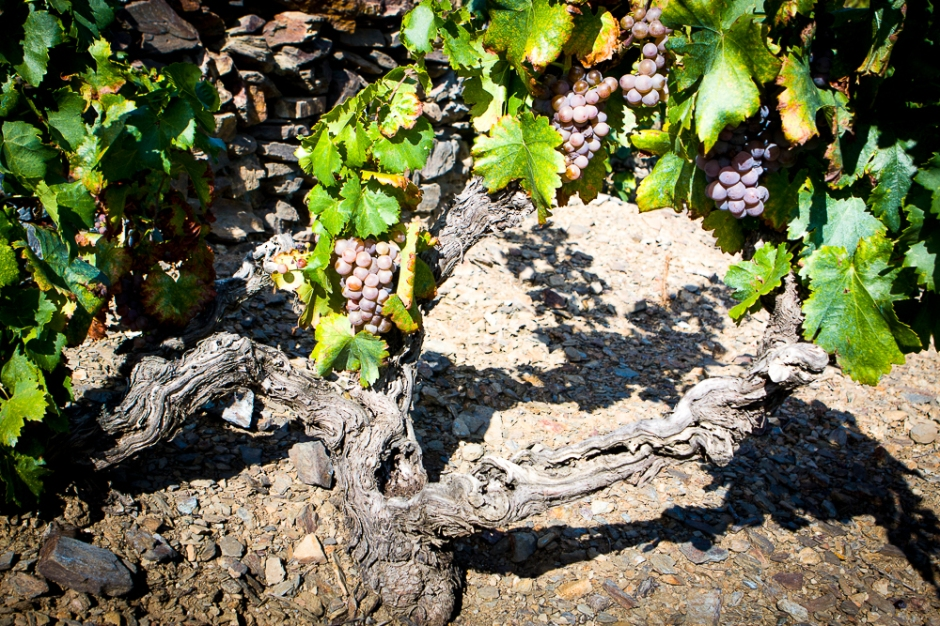 Ripe Grenache Gris, ready to pick. Credit: Richard W H Bray.