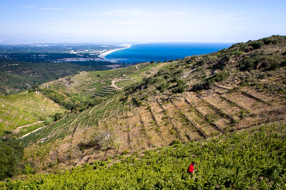 Winemaker Andy Cook wanders the vines above Collioure, taking samples of grapes to check for ripeness. Credit: Richard W H Bray.