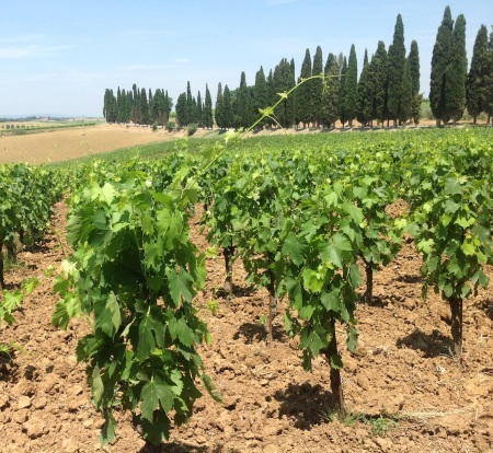 Vines backed by cypress trees at Avignonesi's Le Capezzine estate in Montepulciano.